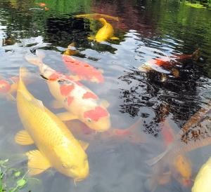 Wonderful Koi Colors